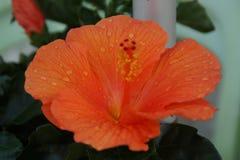 Pomarańczowa kropli woda i kwiat fotografia stock