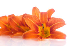 Pomarańczowa leluja Zdjęcia Stock