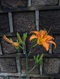 Pomarańczowa leluja na starym ogrodzeniu zdjęcia stock