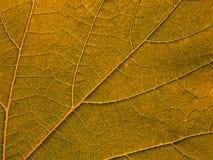 pomarańczowa liść tekstura Obraz Royalty Free