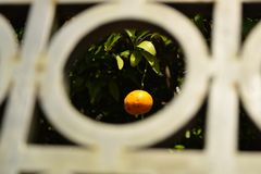 Pomarańczowa mandarynka na drzewie mandarynka dojrzała Domowy ogród mandarynka fotografia stock