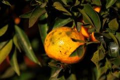 Pomarańczowa mandarynka na drzewie mandarynka dojrzały, Zdjęcie Stock