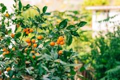 Pomarańczowa mandarynka na drzewie mandarynka dojrzały, Czarnogórski mandari obraz stock
