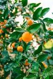 Pomarańczowa mandarynka na drzewie mandarynka dojrzały, Czarnogórski mandari obraz royalty free