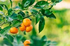 Pomarańczowa mandarynka na drzewie mandarynka dojrzały, Czarnogórski mandari obrazy royalty free