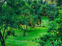 Pomarańczowa mandarynka na drzewie mandarynka dojrzały, Czarnogórski mandari fotografia stock