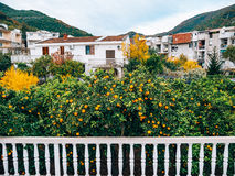 Pomarańczowa mandarynka na drzewie mandarynka dojrzały, Czarnogórski mandari zdjęcia royalty free