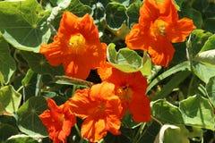 Pomarańczowa nasturcja & x28; Tropaeolum& x29; fotografia stock