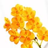 pomarańczowa orchidea Zdjęcia Royalty Free