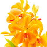 Pomarańczowa orchidea na Białym tle Fotografia Royalty Free