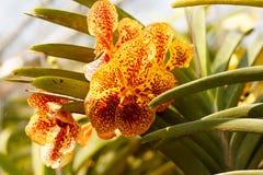 Pomarańczowa orchidea w ogródzie blisko Chang Mai, Tajlandia świeży Colorful-2 Obrazy Stock