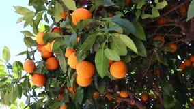 Pomarańczowa owoc zbiory