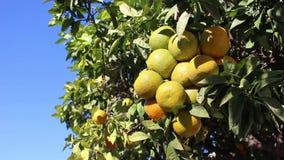 Pomarańczowa owoc zbiory wideo