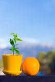 Pomarańczowa owoc i mały pomarańczowy drzewo Zdjęcie Stock