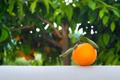 Pomarańczowa owoc na tle pomarańczowy drzewo Obraz Royalty Free