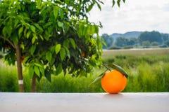 Pomarańczowa owoc na tle pomarańczowy drzewo Obrazy Royalty Free