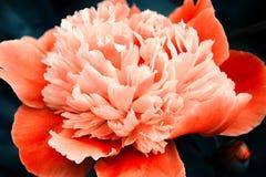 Pomarańczowa peonia na zmroku - błękitny tło Zdjęcie Stock