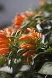 Pomarańczowa pięcie roślina obraz stock