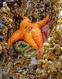 Pomarańczowa rozgwiazda wystawiająca niskimi przypływami Fotografia Royalty Free