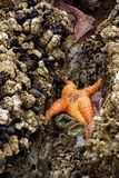 Pomarańczowa rozgwiazda wystawiająca niskimi przypływami Fotografia Stock