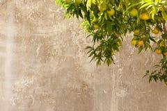 pomarańczowa sadu drzewa ściana Obrazy Stock