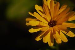 Pomarańczowa stokrotka fotografia stock