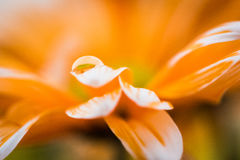 Pomarańczowa stokrotka z kroplą woda Zdjęcia Royalty Free
