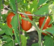 Pomarańczowa Włoska Śliwkowa Pomidorowa roślina i liście Zdjęcia Stock