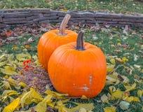 Pomarańczowe banie w zielonej trawy słońcu jaskrawym Jesieni żniwa Halloween lub dziękczynienie Piękny dojrzały bani zbliżenie na Obrazy Stock