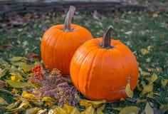 Pomarańczowe banie w zielonej trawy słońcu jaskrawym Jesieni żniwa Halloween lub dziękczynienie Piękny dojrzały bani zbliżenie na Obraz Royalty Free