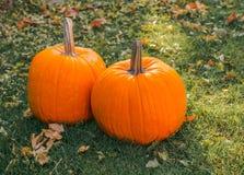 Pomarańczowe banie w zielonej trawy słońcu jaskrawym Jesieni żniwa Halloween lub dziękczynienie Piękny dojrzały bani zbliżenie na Fotografia Stock