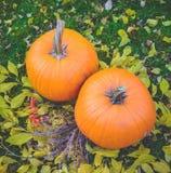 Pomarańczowe banie w zielonej trawy słońcu jaskrawym Jesieni żniwa Halloween lub dziękczynienie Piękny dojrzały bani zbliżenie na Obrazy Royalty Free