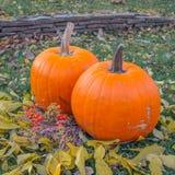 Pomarańczowe banie w zielonej trawy słońcu jaskrawym Jesieni żniwa Halloween lub dziękczynienie Piękny dojrzały bani zbliżenie na Obraz Stock