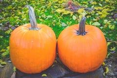 Pomarańczowe banie w zielonej trawy słońcu jaskrawym Jesieni żniwa Halloween lub dziękczynienie Piękny dojrzały bani zbliżenie na Zdjęcia Royalty Free