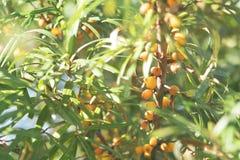Pomarańczowe Buckthorn jagody na Bush Jesieni Organicznie Rolny żniwo Zdjęcie Stock