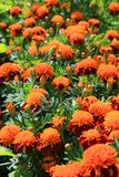 Pomarańczowe chryzantemy Obrazy Royalty Free