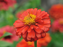 Pomarańczowe cynie kwitną w ogródzie Obraz Royalty Free
