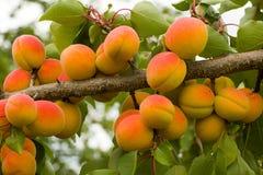 Pomarańczowe, Czerwone morele na gałąź/ Obraz Royalty Free