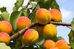 Pomarańczowe, Czerwone morele na gałąź/ Zdjęcia Royalty Free