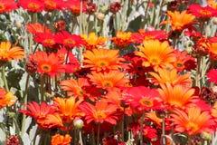 Pomarańczowe i żółte stokrotki kwitnie w ranku słońcu Obrazy Stock
