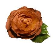 Pomarańczowe kwiat róże na białym odosobnionym tle z ścinek ścieżką żadny cienie zieleń liść wzrastali Dla projekta clo obrazy royalty free