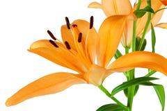 Pomarańczowe leluje Zdjęcie Royalty Free