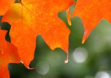 Pomarańczowe liścia klonowego deszczu krople Fotografia Royalty Free