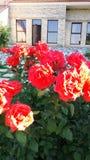 Pomarańczowe, Morelowe róże Z liśćmi/ zdjęcie royalty free