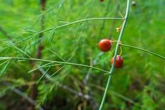 Pomarańczowe owoc na Szparagowej roślinie zdjęcia stock