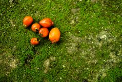 Pomarańczowe owoc na zielonym tle z mech zdjęcie stock