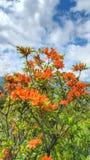 Pomarańczowe płomień azalie Pólnocna Karolina Zdjęcia Stock