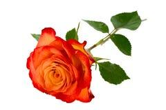 pomarańczowe róże Zdjęcia Royalty Free