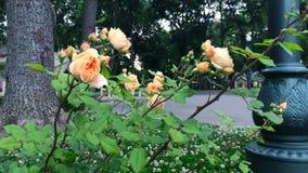 Pomarańczowe róże w ogródzie zbiory