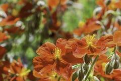 Pomarańczowe Rockowe róże w słońcu Fotografia Royalty Free